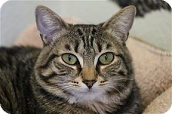 Domestic Shorthair Cat for adoption in Lincoln, California - Tommy