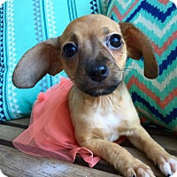 Adopt A Pet :: Miss Charlotte (rbf) - Hagerstown, MD