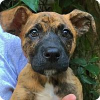 Adopt A Pet :: Vixey - Orlando, FL