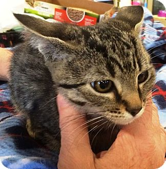 Domestic Shorthair Kitten for adoption in Concord, California - Kiara