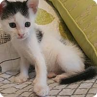 Domestic Shorthair Kitten for adoption in Manhattan, Kansas - Walter