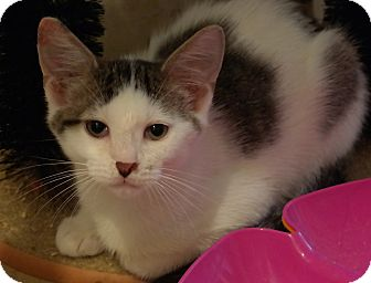 Domestic Shorthair Kitten for adoption in Trevose, Pennsylvania - Fonz