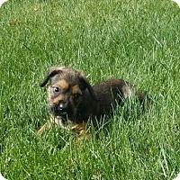 Adopt A Pet :: Pumba - St Louis, MO
