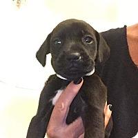 Adopt A Pet :: Rosie - Newport, KY