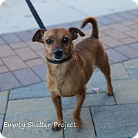 Terrier (Unknown Type, Small)/Chihuahua Mix Dog for adoption in Manassas, Virginia - Toby