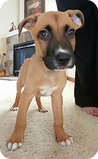 German Shepherd Dog/Pit Bull Terrier Mix Dog for adoption in Racine, Wisconsin - Fang