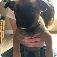 Black Mouth Cur/Shepherd (Unknown Type) Mix Puppy for adoption in DeForest, Wisconsin - Penelope