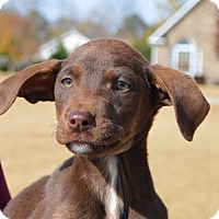 Labrador Retriever Mix Puppy for adoption in Springfield, Massachusetts - Magic-ADOPTED