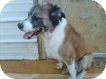 St. Bernard/Shepherd (Unknown Type) Mix Dog for adoption in East Hartford, Connecticut - Katie adoption pending