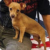 Adopt A Pet :: Fawn super cute baby - Sacramento, CA