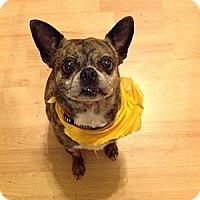 Adopt A Pet :: Pebbles - Gig Harbor, WA