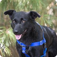 Chow Chow/Shepherd (Unknown Type) Mix Dog for adoption in Chester, Maryland - Tilly