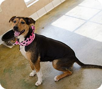 foxhound terrier honey adopted dog poteau ok foxhound terrier 1070
