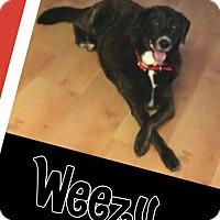 Adopt A Pet :: Weezy - Scottsdale, AZ
