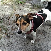 Adopt A Pet :: HANNAH BANANA - Terra Ceia, FL