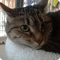 Domestic Shorthair Cat for adoption in Raritan, New Jersey - Allison