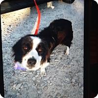 Adopt A Pet :: Willow - springtown, TX