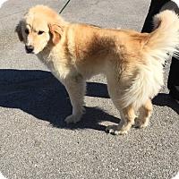 Adopt A Pet :: Brooke - BIRMINGHAM, AL