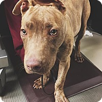Adopt A Pet :: Bruce-Courtesy Post - North Olmsted, OH