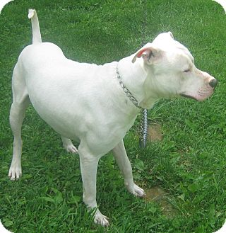 Staffordshire Bull Terrier/Dogo Argentino Mix Dog for adoption in Hillsboro, Ohio - Hurricane