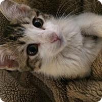 Adopt A Pet :: Mango - Fort Collins, CO