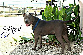 Pit Bull Terrier Mix Dog for adoption in DELANO, California - RIZAL