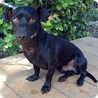 Adopt A Pet :: Gatsby - Santa Ana, CA