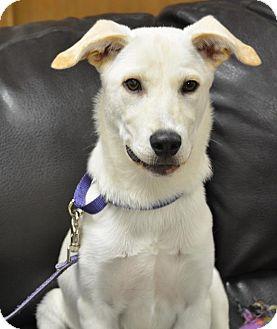 Labrador Retriever Mix Puppy for adoption in Pacific, Missouri - Pink