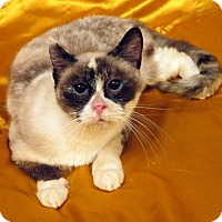 Siamese Cat for adoption in St. Louis, Missouri - Cleocatra