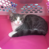 Domestic Shorthair Kitten for adoption in Warren, Michigan - Fudge Swirl