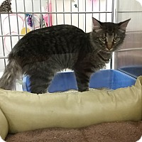 Domestic Mediumhair Kitten for adoption in Manchester, Connecticut - Hans (in CT)