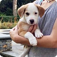 Adopt A Pet :: Bess - Harrison, NY