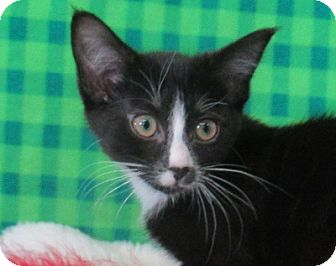 Domestic Shorthair Kitten for adoption in Lloydminster, Alberta - Shirley