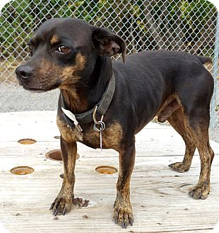 Terrier (Unknown Type, Small) Mix Dog for adoption in Urbana, Ohio - Wheezie