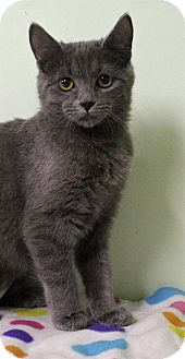 Domestic Shorthair Cat for adoption in Murphysboro, Illinois - Fuji