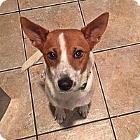 Adopt A Pet :: Foxy - Albertville, MN