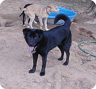 Spitz (Unknown Type, Medium)/Chow Chow Mix Dog for adoption in Acworth, Georgia - Roxy