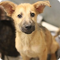 Adopt A Pet :: Chase - Dripping Springs, TX