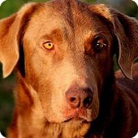 Adopt A Pet :: GUINNESS(GORGEOUS PB CHOC. LAB - Wakefield, RI