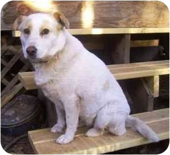 Labrador Retriever/Shepherd (Unknown Type) Mix Dog for adoption in Phoenix, Arizona - Cammie