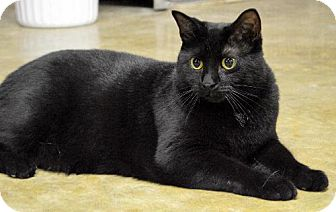 Domestic Shorthair Cat for adoption in Mount Airy, North Carolina - Nestle - COURTESY