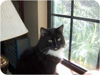 Domestic Longhair Cat for adoption in Fairhope, Alabama - Jethro