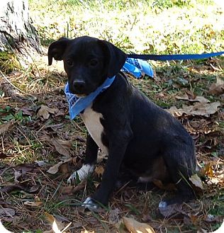 Boston Terrier/Labrador Retriever Mix Puppy for adoption in Windham, New Hampshire - Hamhock (In New England)