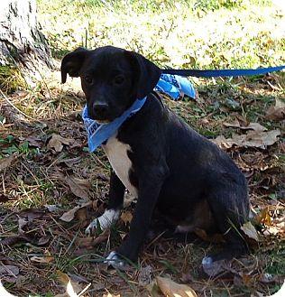 Boston Terrier/Labrador Retriever Mix Puppy for adoption in Windham, New Hampshire - Hamhock (In New England)