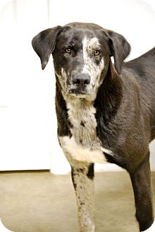 Blue Heeler/Labrador Retriever Mix Dog for adoption in Glastonbury, Connecticut - Joker