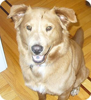 Golden Retriever Mix Dog for adoption in New Canaan, Connecticut - Gilda