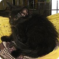 Adopt A Pet :: Black Lace - Dallas, TX