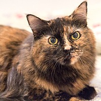 Domestic Longhair Cat for adoption in Chicago, Illinois - Zen