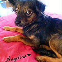 Terrier (Unknown Type, Medium)/Shepherd (Unknown Type) Mix Dog for adoption in Bakersfield, California - Angelina