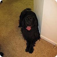 Adopt A Pet :: Kona - Silverthorne, CO